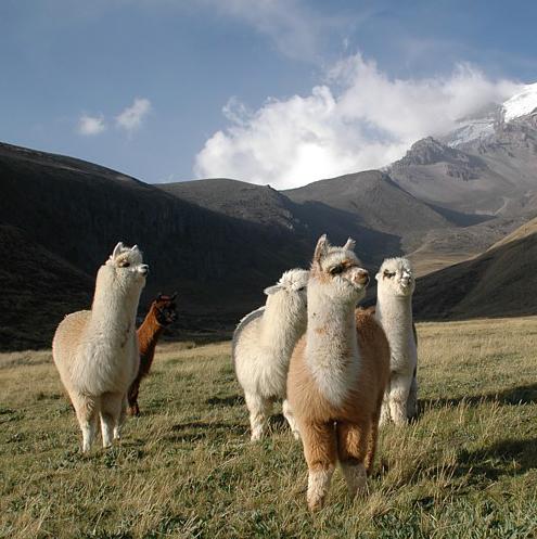 Alpacas im Andenhochland