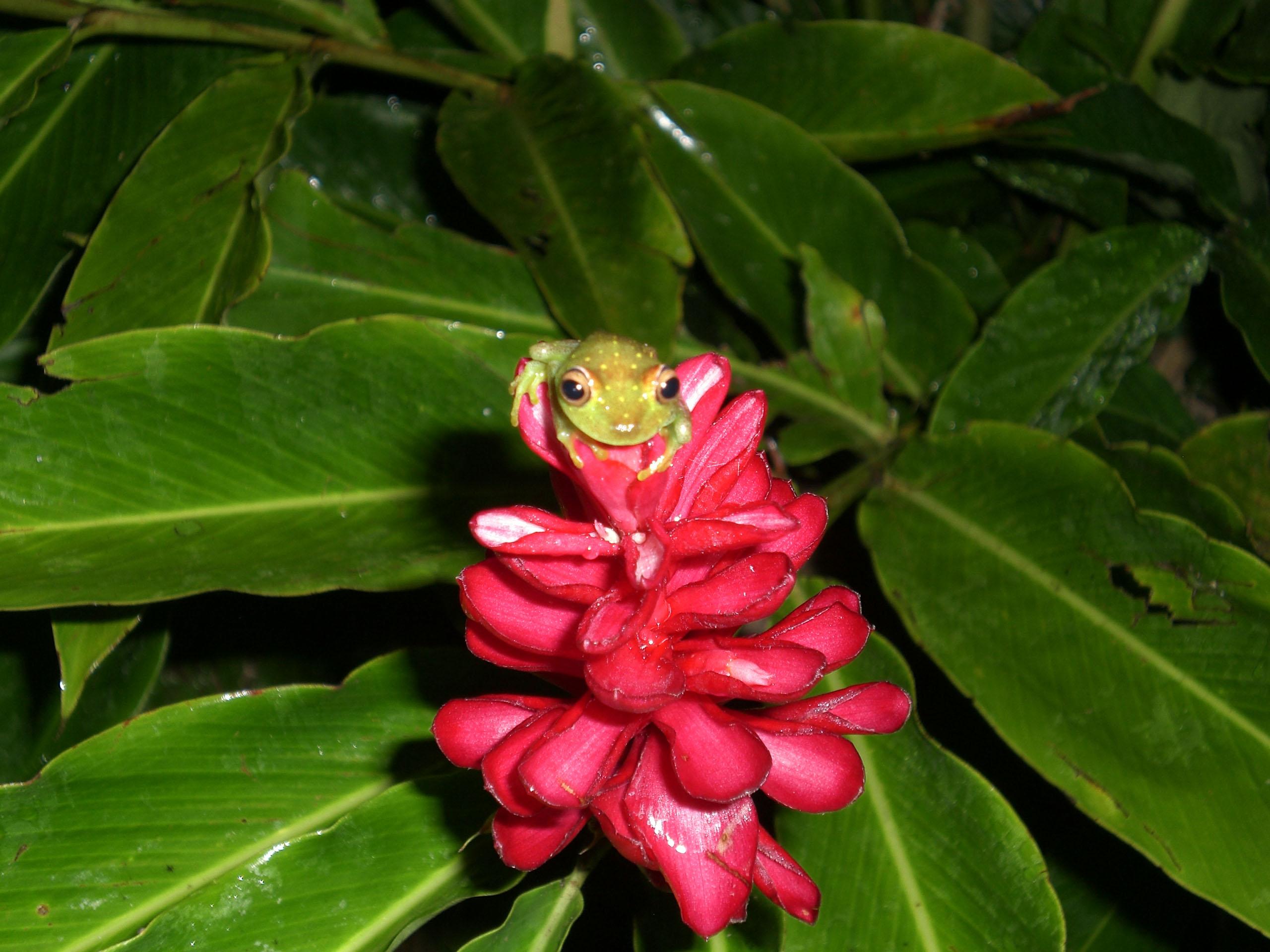 Phantastische Farben - Frosch auf einer Blüte im Dschungel