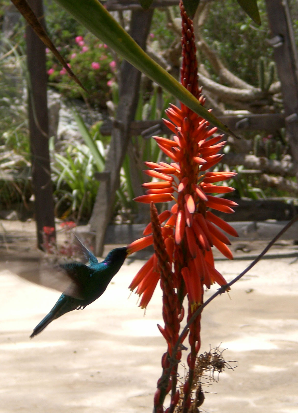 Kolibri am Äquator