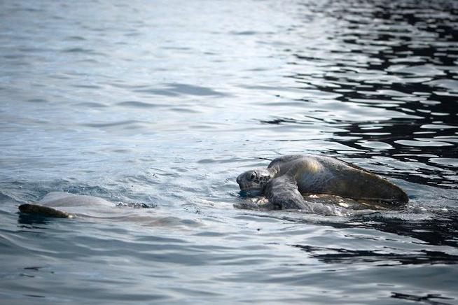 Seltsames Schauspiel - Eine Schildkröte sonnt sich auf dem Rücken eines Rochens