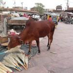 """Besen fressende Kuh auf dem Markt in Jodhpur. Cebu-Rinder sind die """"heiligen Kühe"""" Indiens. Sie dürfen getrost die Straße versperren und nicht getötet werden."""