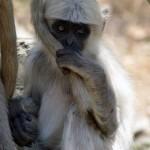 Indisches Affenkind