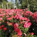 Rosen im Hyde Park