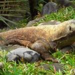 Komodo-Waran. Sein Speichel tötet das Opfer nach einem Monat. Durch seine Art wurden auf einer kleinen indonesischen Insel die Menschen ausgerottet.
