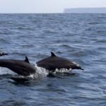Delfine im Indischen Ozean