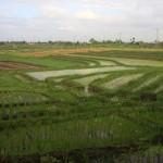 Reisterrassen gibt es überall. Reis ist das Grundnahrungsmittel der Balinesen und wird für den Eigenbedarf angebaut. Egal was man bestellt, auch wenn es scheinbar nicht dazu passt, es gibt immer ein Häufchen Reis dazu.