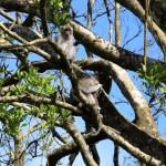 Vom Aussterben bedrohte Langschwanz-Makaken