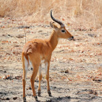 Antilope im Nationalpark