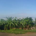 Nebel und Bananenstauden