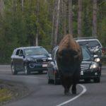 bison-als-verkehrsbremse